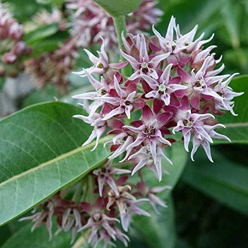100 Showy Milkweed Seeds, Asclepias Speciosa, by Seeds2Go