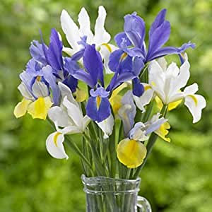 Dutch Iris Mixed 12 Bulbs( (Iris hollandica) (Perennial,Spring Blooming Flowers
