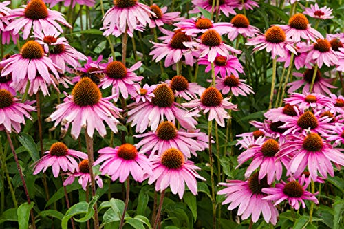 Sweet Yards Seed Co. Purple Coneflower Seeds - Bulk Quarter Pound Packet - Over 12,000 Open Pollinated Non-GMO Wildflower Seeds - Echinacea purpurea