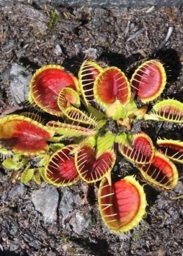 25 Purple Big Mouth Venus Fly Trap Seed Dionaea Muscipula Carnivorous Bug Eating