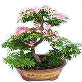 Albizia Julibrissin Bonsai Seeds – Rare Persian Pink Blossom Flowers – Silk Tree Mimosa – 20 Seeds