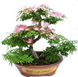Albizia Julibrissin Bonsai Seeds - Rare Persian Pink Blossom Flowers - Silk Tree Mimosa - 20 Seeds