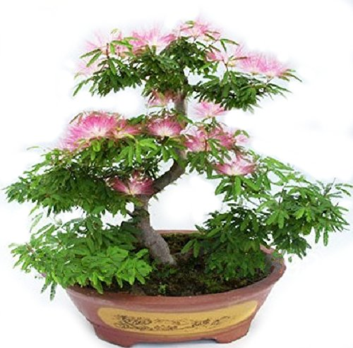 Albizia Julibrissin Bonsai Seeds  Rare Persian Pink Blossom Flowers  Silk Tree Mimosa  20 Seeds