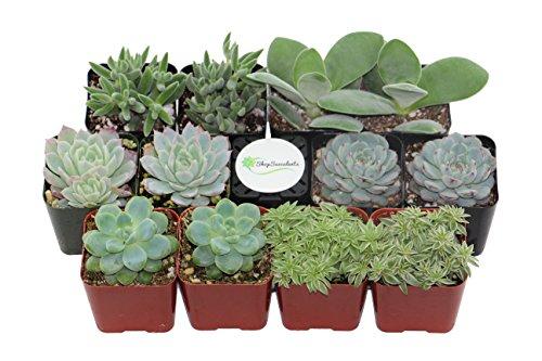Shop Succulents Blue/Green Succulent (Collection of 12)