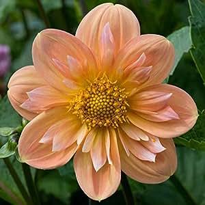Dahlia Opera Yellow Flower Seeds (Dahlia Variabilis) 20+Seeds