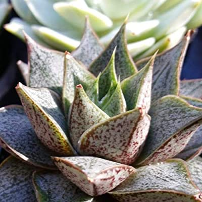 Echeveria purpusorum : Garden & Outdoor