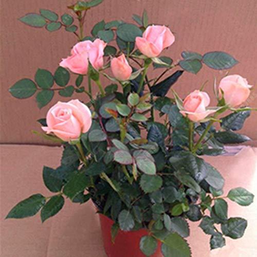 Meflying Perennial Bonsai Mini Rose Seeds Bonsai Plant Seeds - Rose Plant Mini