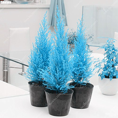 60pcs/ bag Rare Blue Cypress Seed Mini Bonsai Platycladus Orientalis Arborvitae Potted Garden Conifer Plant Tree Easy to ()