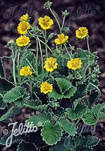 Potentilla (Cinquefoil) atro. argyrophylla Starlit Gold 250 seeds