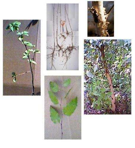 (River Birch Tree, 16+in, White Bark, Fast Growing Hardwood - Plan for Fall)