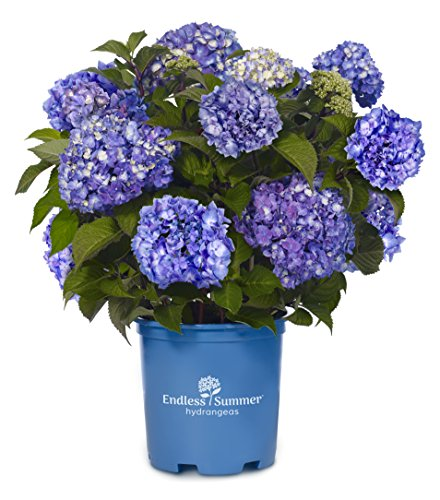 Endless Summer Hydrangea - Endless Summer Collection - Hydrangea mac. Endless Summer BloomStruck (Reblooming Hydrangea) Shrub, RB purple, #3 - Size Container