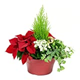 #3: KaBloom Holiday Collection: Christmas Classic Dish Garden of Fresh Poinsettias, Frosty Fern, Lemon Cypress,  Variegated Ivy and White Calandiva