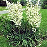 YUCCA FILAMENTOSA ADAMS NEEDLE zone 5 hardy 10 seeds