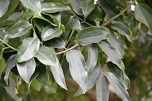 Amazon.com: 10 Cinnamomum Tamala, semillas de indio hoja de ...