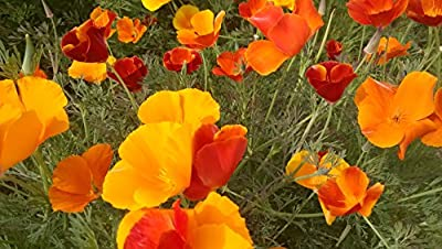 Eschcholtzia California Poppy Mixed Colors 3000 Seeds