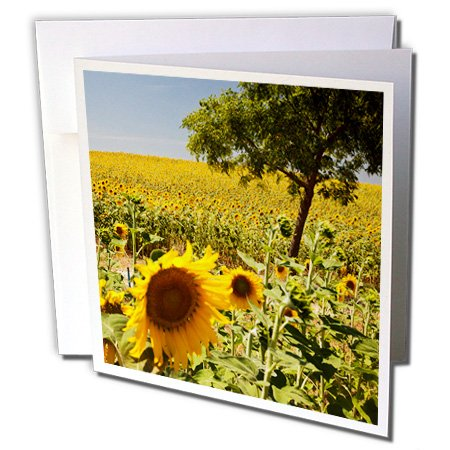 3dRose Spain, Andalusia, Tree in Field of Sunflowers. Greeting Cards, 6