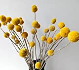 Dried Natural Craspedia Flowers,Billy Button