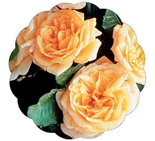 Stargazer Perennials Garden Sun Climbing Rose Plant - Repeat Blooming Fragrant Apricot Peach Yellow - Potted Own Root
