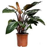 Philodendron Congo Red Live Plant Premium Foliage Plant Fit 2 Gallon Pot