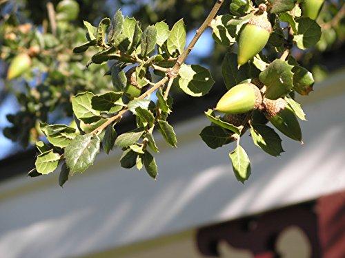 Coast Live Oak | Medium Tree Seedling | The Jonsteen Company