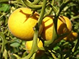 20 JAPANESE BITTER ORANGE TREE SEEDS ( HARDY ORANGE ) - poncirus trifoliata