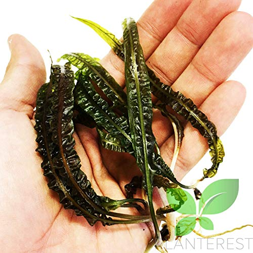 Planterest - Cryptocoryne Balansae Long Leaves Rooted Live Aqiarium Plants...