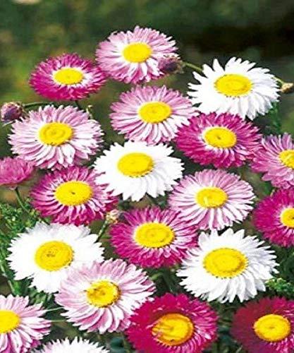 Acroclinium Rossum Helipterum Paper Daisy Rosy Everlasting, 25 ()