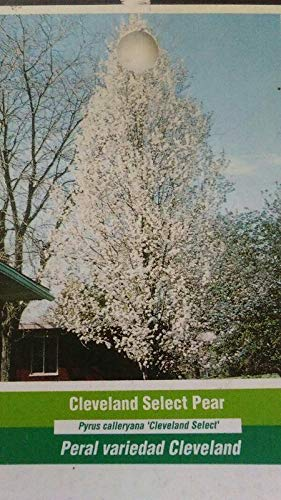 Cleveland Select Flowering Pear Tree Home Garden Plants Landscape Trees Plant ()
