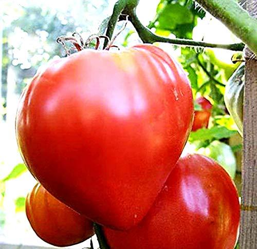 (Tomato Giant Oxheart Heirloom Seeds #218 (200)
