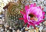 Echinopsis mamillosa, rare lobivia cactus chamaecereus succulent seed -20 SEEDS