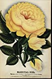 Marechal Niel Yellow Rose Fragrant c.1880-90