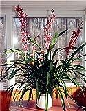 Pinkdose Sale! 100 pcs Rare Cymbidium Orchid Plants African Cymbidiums Plantas, Phalaenopsis Bonsai Flower Seedling for Home Garden Pot: 14