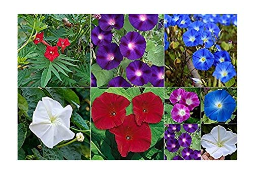 - David's Garden Seeds Collection Set Flower Morning Glory Open Pollinated NEP0031 (Multi) 6 Varieties 275 Non-GMO, Open Pollinated Seeds