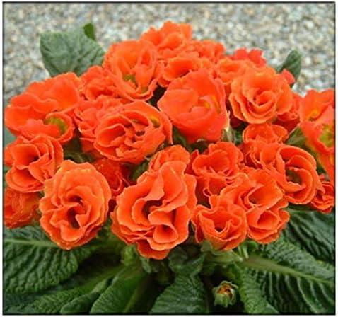200Pcs Rare Primrose Evening Grass Seeds Perennial Balcony Ornamental Plants DIY