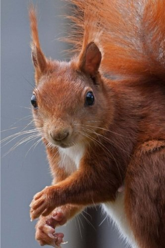 Squirrel Notebook: 150 lined pages, glossy softcover, 6 x 9