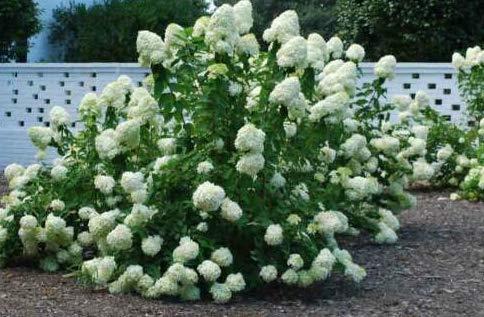 Fresh Cuttings of Pee Gee Hydrangea Trees Get 10 Fresh Cuttings -