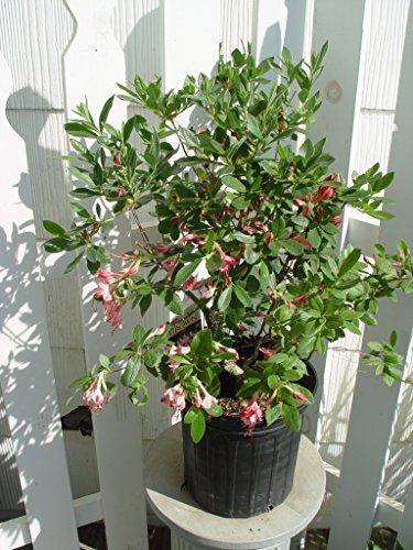 Azalea 'Pink and Sweet' (Swamp Azalea) Shrub, pink flowers, #2 - Size Container