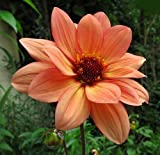 Classic Poeme Peony Flowering Dahlia - 2 Bulb Clumps