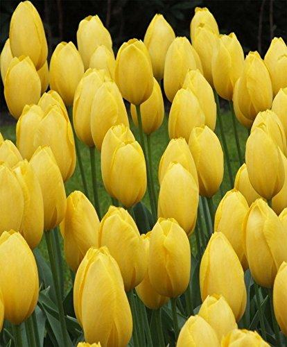 Yellow Big Smile Darwin Tulip Bulbs 50 Pack by Rotteveel Bulbs