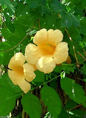 - 30 Seeds Yellow Trumpet Creeper Seeds - Campsis Radicans 'Flava' - Hummingbird Favorite !