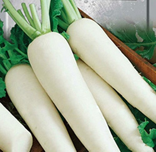 Mayan Seeds LLC Vegetable Seeds 200 Pcs seeeds Daikon Radish Minovaze Organic Russian Heirloom (Vegetable Seeeds)