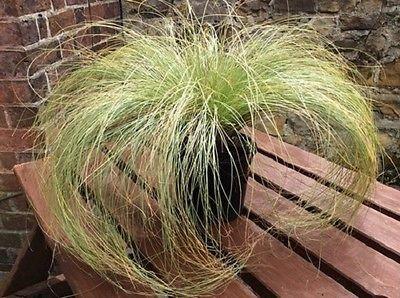 Ornamental Grass Seeds Carex Frosted Curls 50 Grass Seeds New Zealand Hair Sedge ()