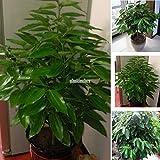 Cinnamon Seeds Indoor Plants Evergreen Tree Seeds herb Traditional 20 pcs t