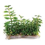 SubstrateSource Staurogyne repens Low Grow Live Aquarium Plant - Tissue Culture