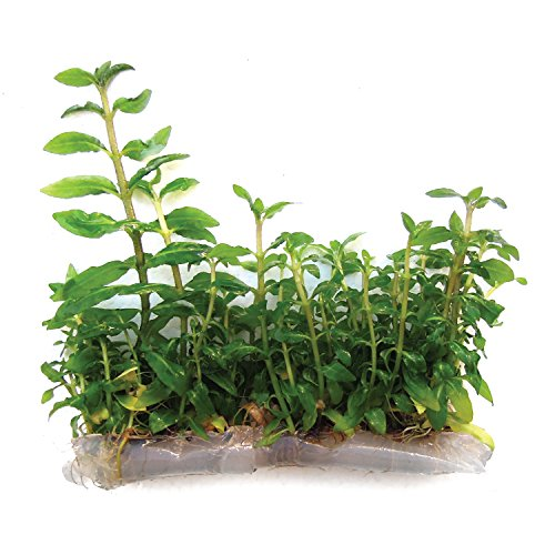 SubstrateSource Staurogyne repens Low Grow Live Aquarium Plant - Tissue Culture by SubstrateSource