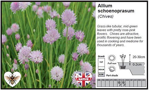 Marginal Pond Plantallium Schoenoprasum Chives 1ltr Amazon
