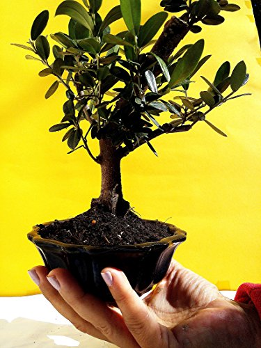Miniature Bonsai - Olive Tree - 5 Year Old Plant by Miniature Bonsai (Image #1)