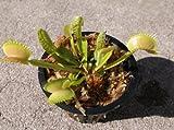 Kyпить Adult Sized Venus Flytrap - Fly Trap - (Dionaea Muscipula) Carnivorous Plant 3 inch pot на Amazon.com