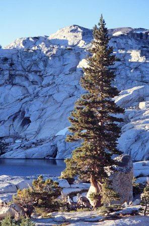 (1000 Sierra Nevada Lodgepole Pine Tree Seeds, Pinus Contorta, Murrayana)