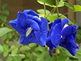 Double Butterfly Pea Vine Seeds: Rich Royal Blue, Clitoria ternatea, bunga telang, Edible/Tea and Decorative, Butterfly Garden/Host Plant (10+ Seeds)